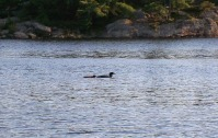 loon-mom-and-baby