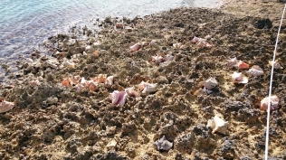Conchs at the ramp
