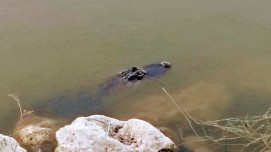 5' Gator at end of canal