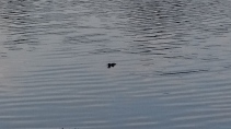 Gator in our canal